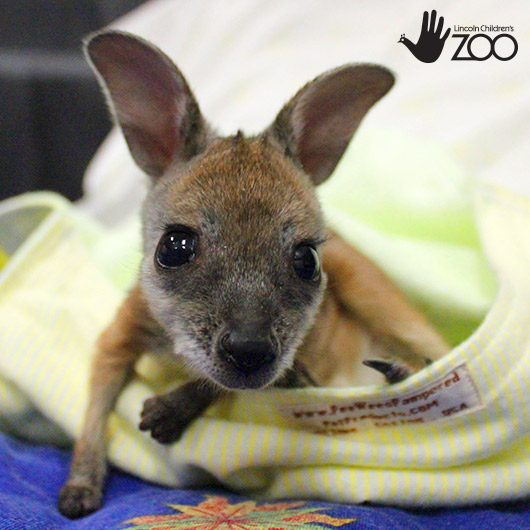 Lincoln Childrens Zoo Animals Baby Wallaby - Lincoln children's zoo birthday party