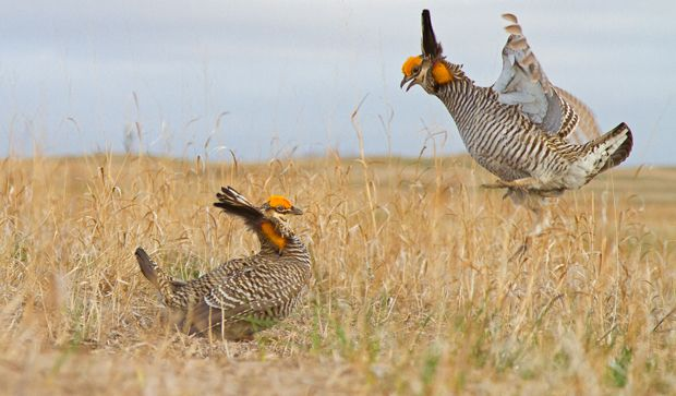 Prairie Chicken Mating