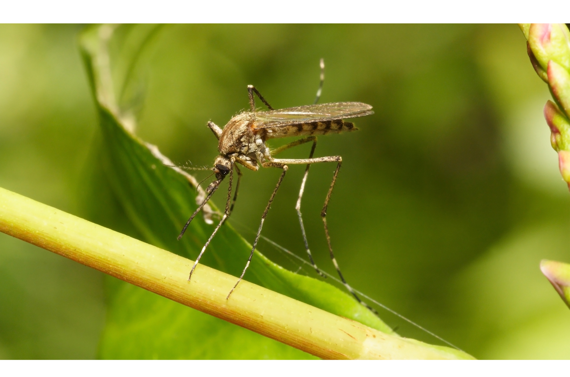Mosquitoes are more than just a nuisance.