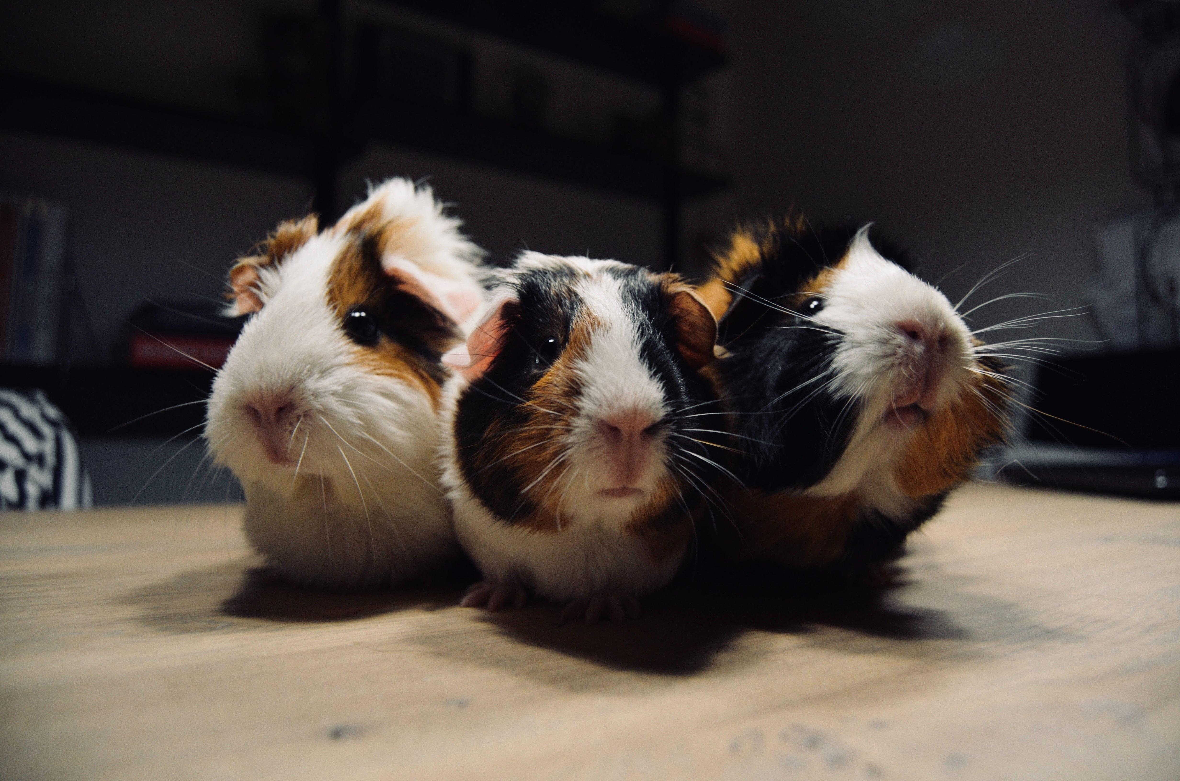 Critter Adoption Promotion