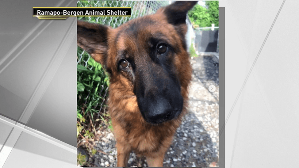 Mystery Surrounds Group of German Shepherds Found Abandoned Across NJ (NBC New York)