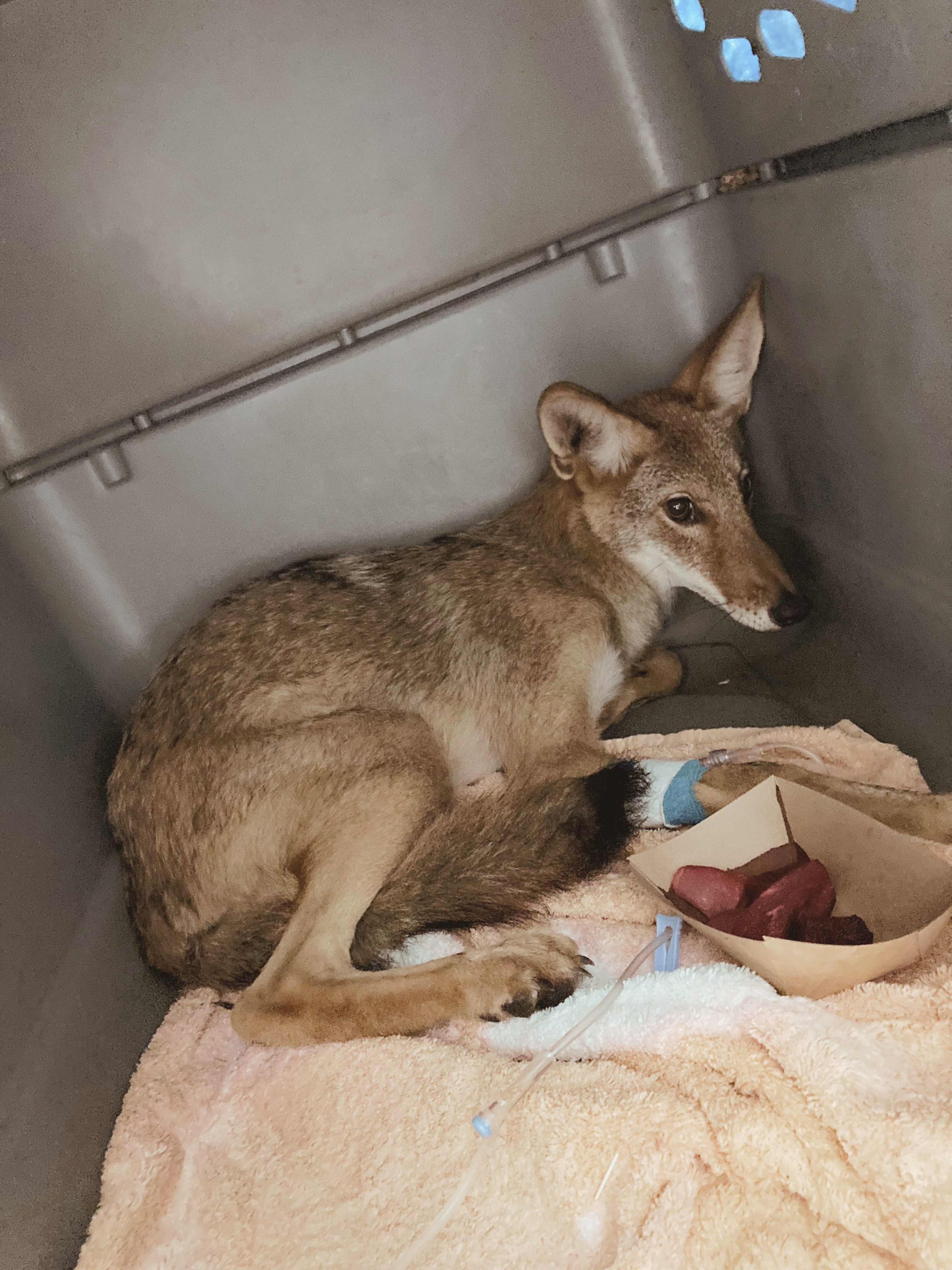 Rescue coyote curled up in her crate with a big plate of yummy food just after her medical exam. She looks scared, but she is in good hands.