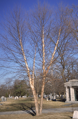 "River Birch - Pack of 5 Seedlings (12""-18"")"