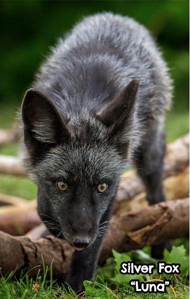 Luna, Silver Fox
