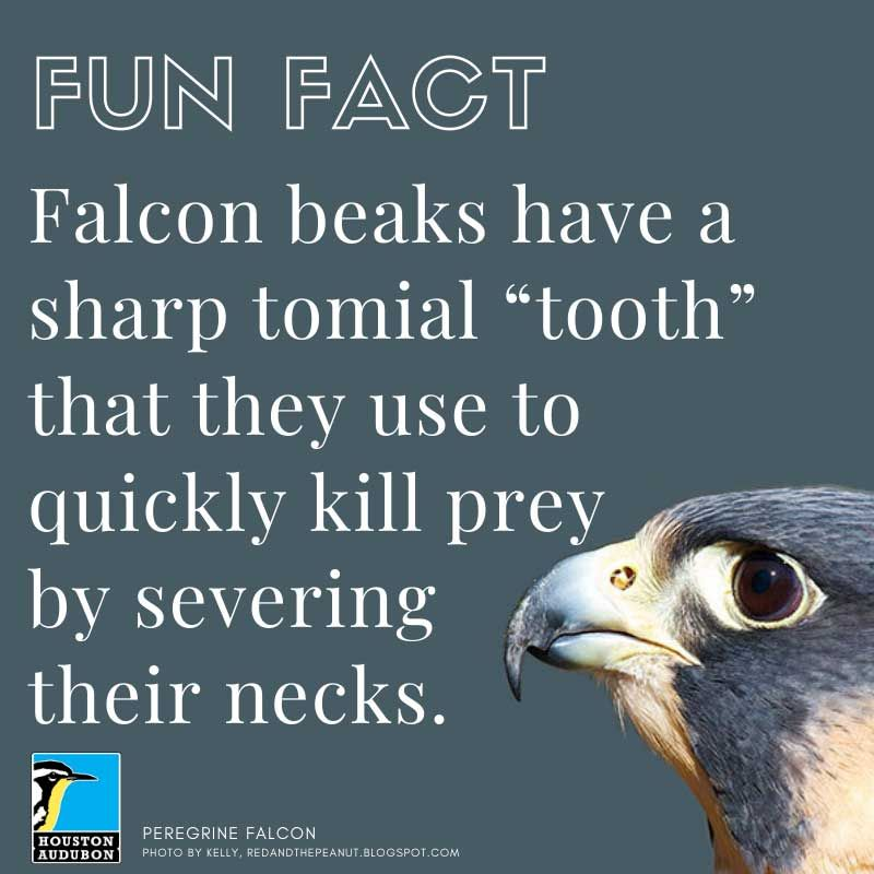 Fun fact about falcons