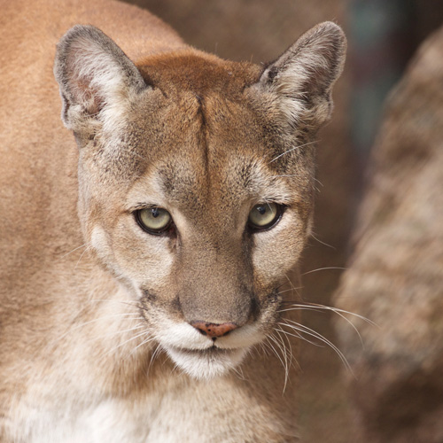 Giselle Mountain Lion Photo by Carol A. Urban