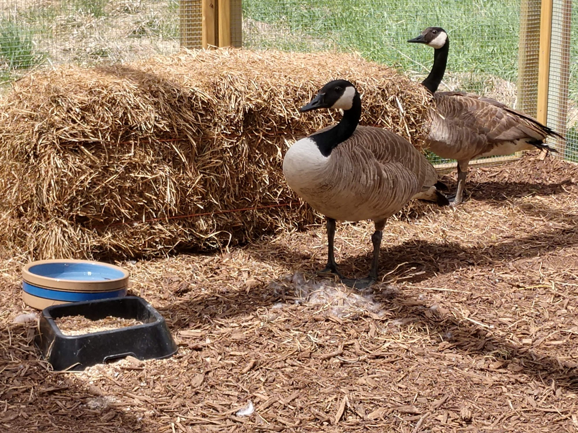 Geese at Gene Leahy Mall Rescued