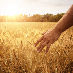 photo of man's hand in a wheat field