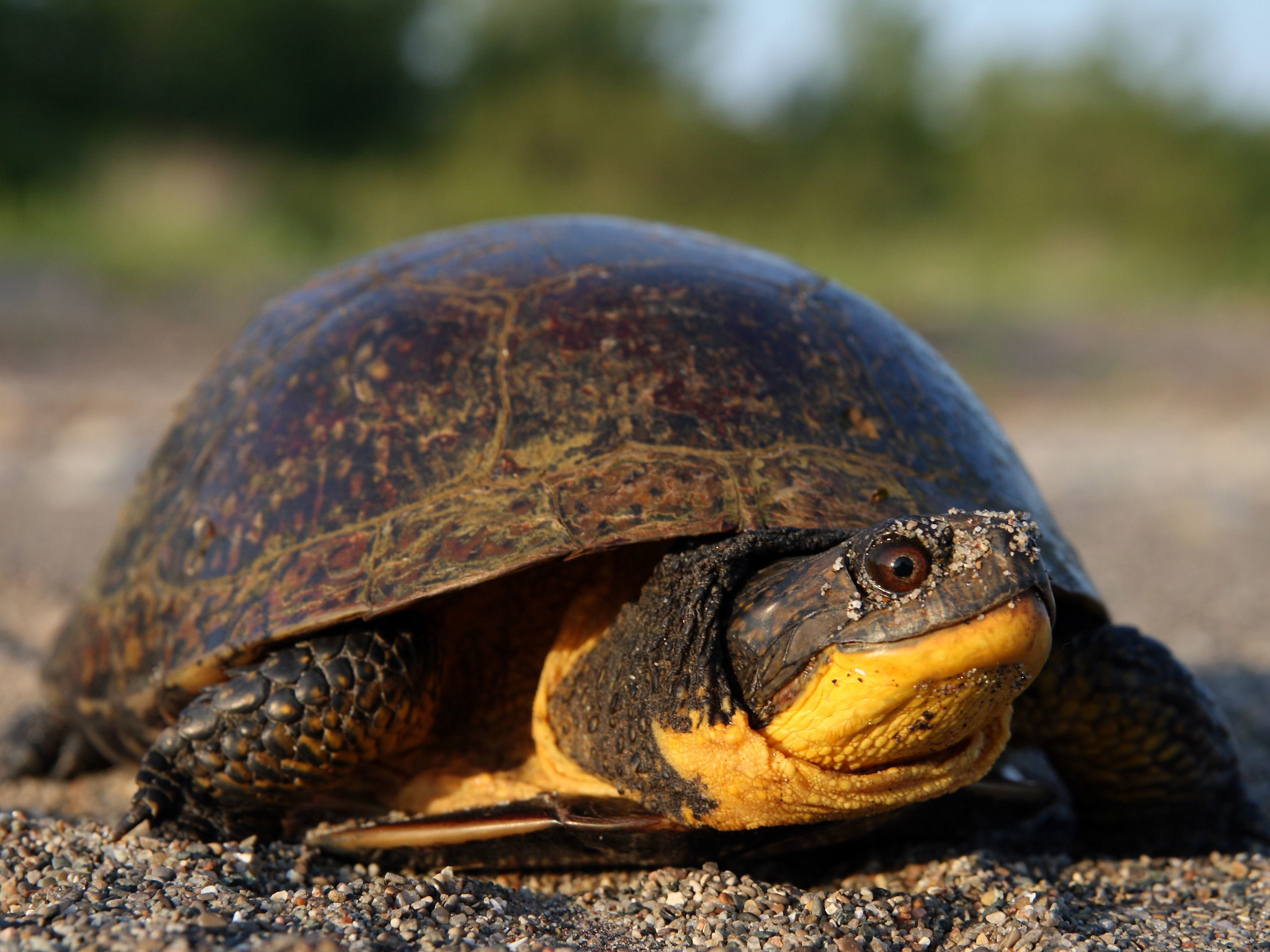 Turtle Species at Risk