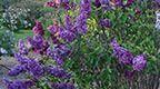Liliacs of Meadowlark Hill