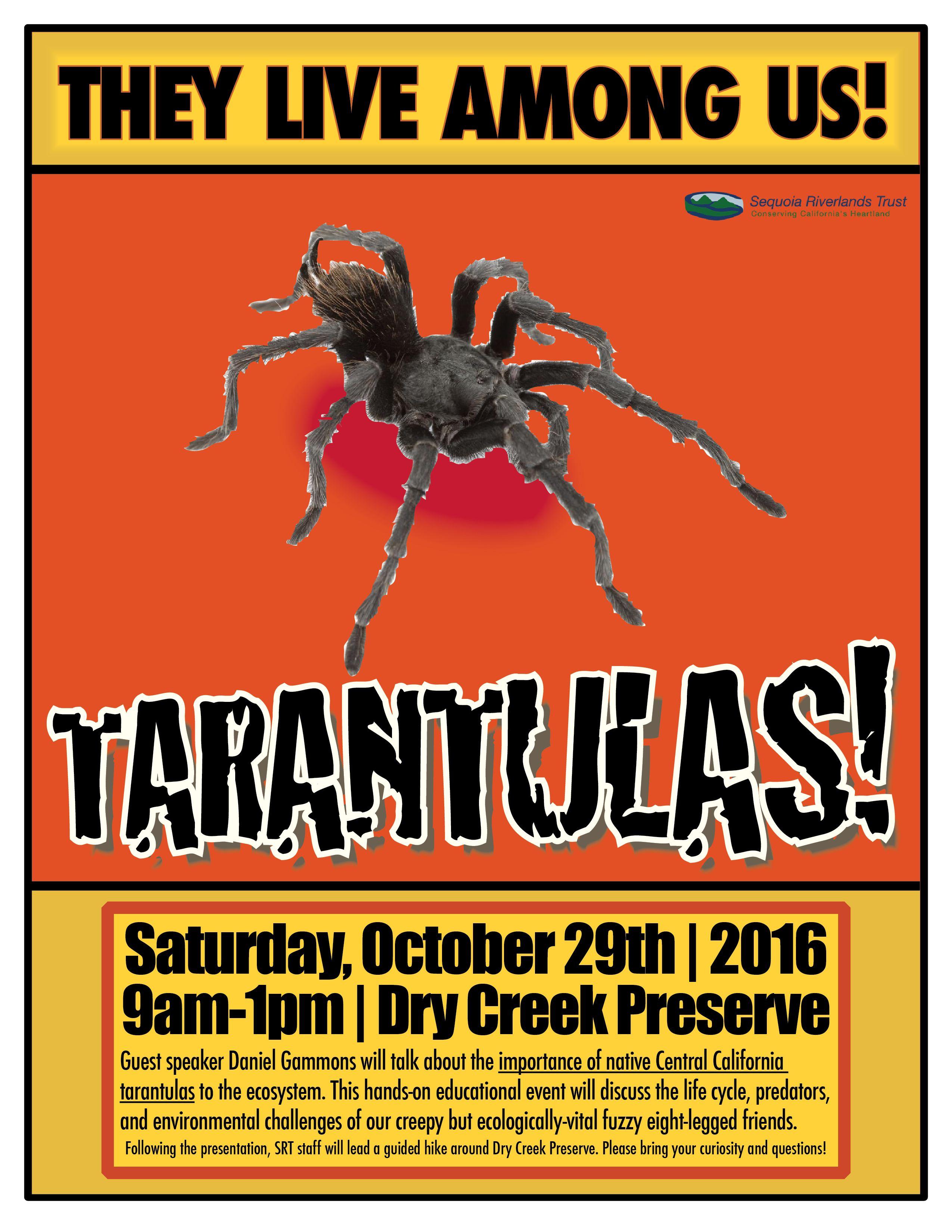 TARANTULAS at Dry Creek Preserve!