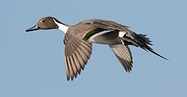 Delta Waterfowl Calls for USFWS Region 8 to Shift Focus Back to Key Migratory Bird Programming