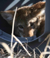Living With Urban Coyotes Handout (NWRI)