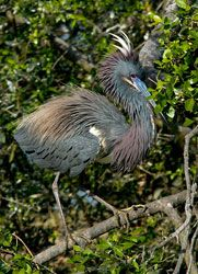 Tricolored Heron (breeding plumage)