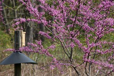 Flora: Redbud