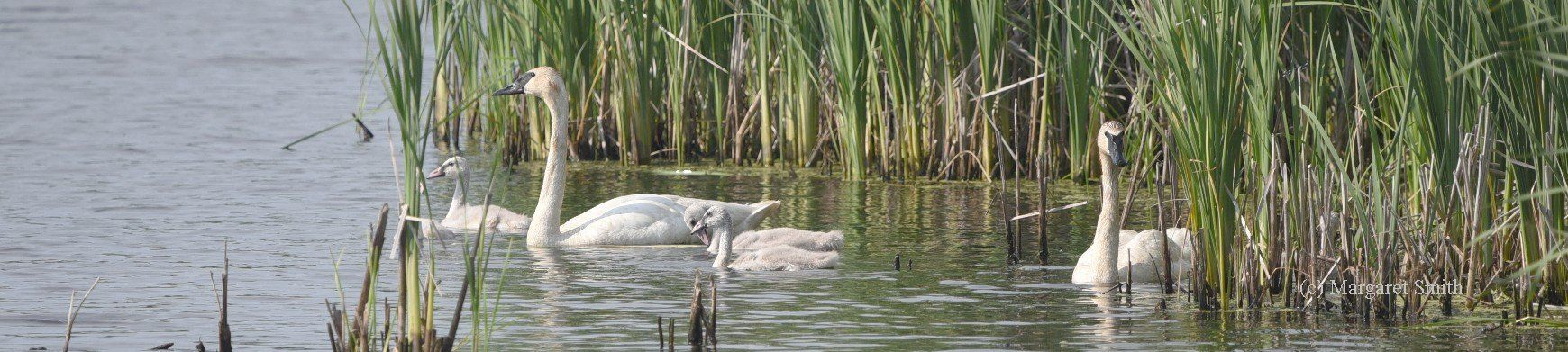 Trumpeter Swans have very strong family bonds.  Swan cygnets remain with their parents through their first summer and winter, returning to their natal grounds with their parents in early spring.