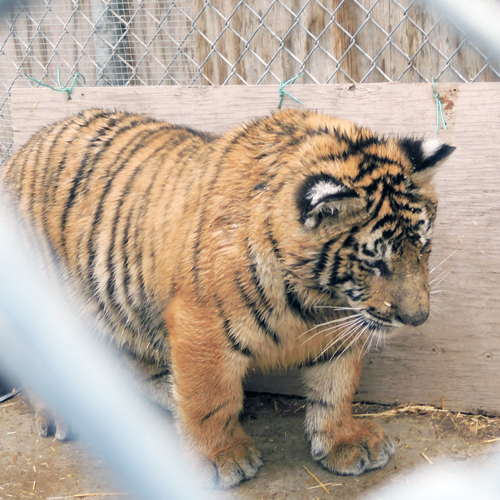 Southwest Wildlife Helps Out With Tiger Cubs