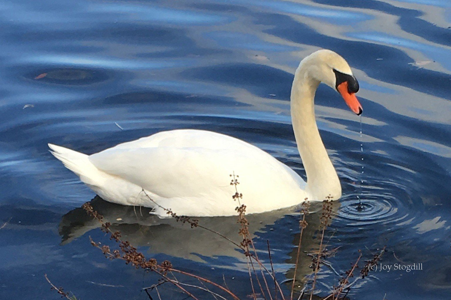 Above: Mute Swan with orange bill and black knob
