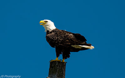 Bald Eagle at Archbishop Fiorenza Park