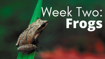 Audubon at Home Week Two: Frogs