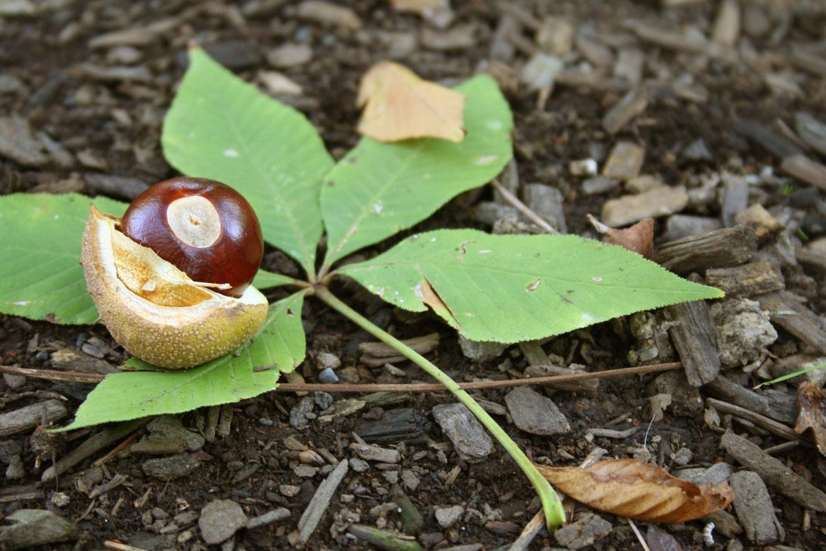 """Ohio Buckeye Pack of 5 Seedlings (12""""-18"""")"""
