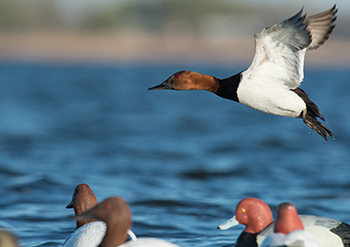 Using New Process, USFWS Releases 2016-2017 Waterfowl Regulations