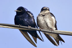 Purple Martin Watch with Houston Audubon @ Houston   Texas   United States