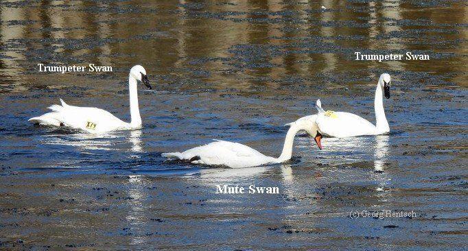 Mute Swan vs Trumpeter Swan