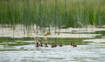 A Shifting Flock: Teal, Gadwalls, Shovelers Thriving