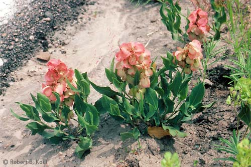 Wild-Begonia