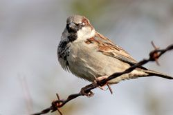 Beak of the Week: House Sparrow