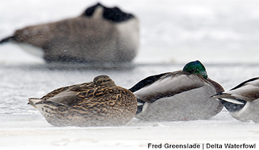 Harsh Winter Weather Tough on Waterfowl