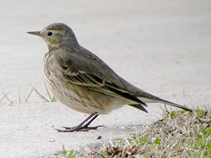 Beak of the Week: American Pipit