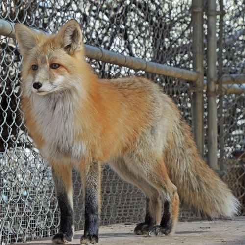 Chaco the Red Fox