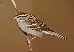 Chipping Sparrow (adult, breeding plumage)
