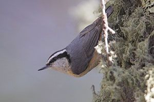 Beak of the Week: Red-breasted Nuthatch