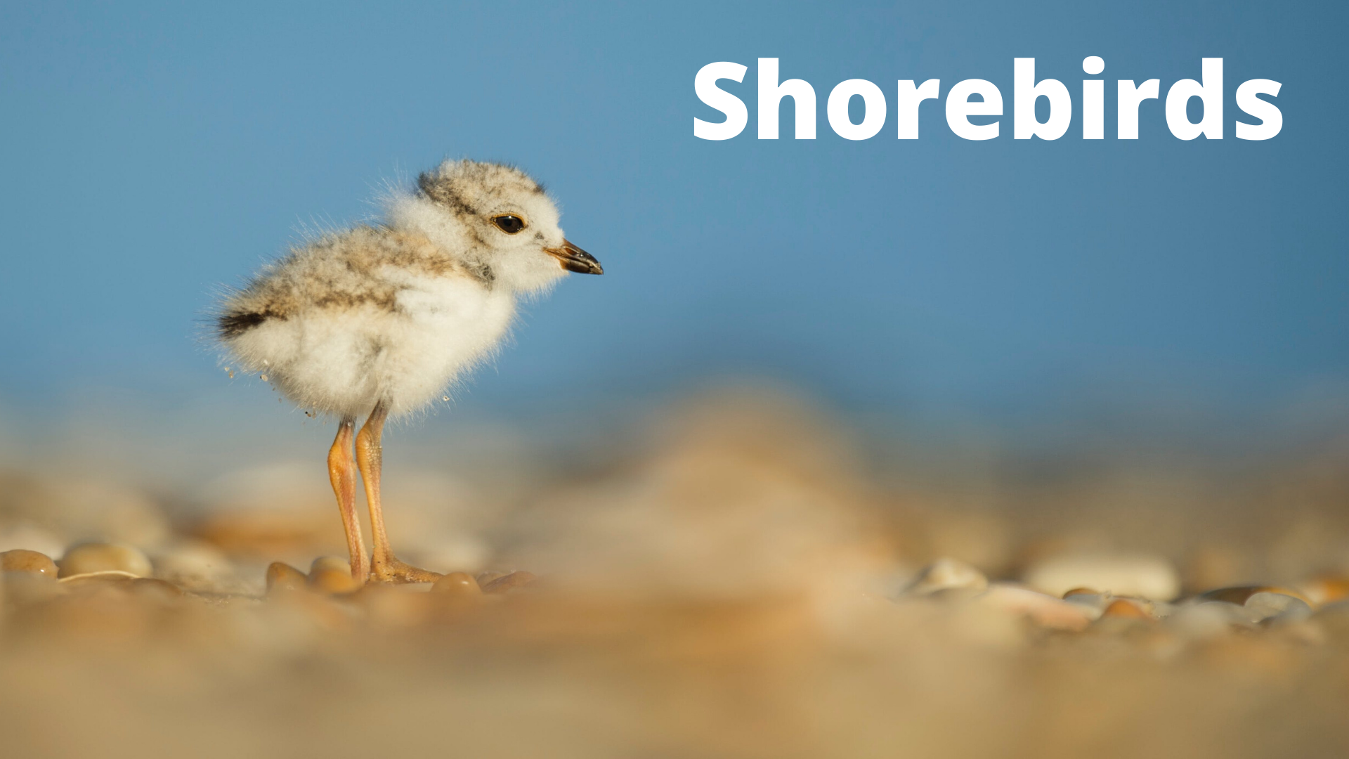 Audubon at Home: Shorebirds