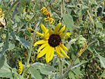 Silverleaf Sunflower