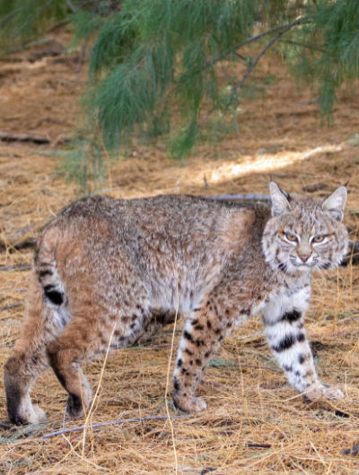 A wild bobcat, just released from SWCC returning to the wild, suspiciously eyeing the camera