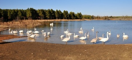Arkansas and how Trumpeter Swans found winter habitat in Heber Springs