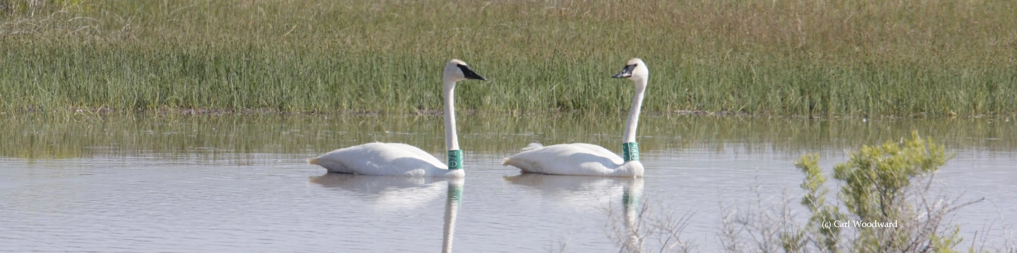 The Trumpeter Swan Society continues to work on swan restorations including the Oregon Restoration Project, a  partnership between TTSS, the Oregon Department of Fish and Wildlife and the United States Fish and Wildlife Service