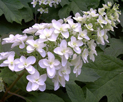 Alabama Hydrangea Society Meeting