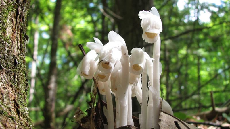 Search for Ghost Pipes (also called Indian Pipes)