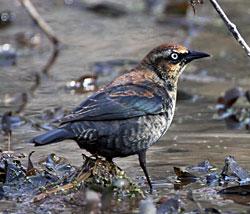 Rusty Blackbird (first winter male)