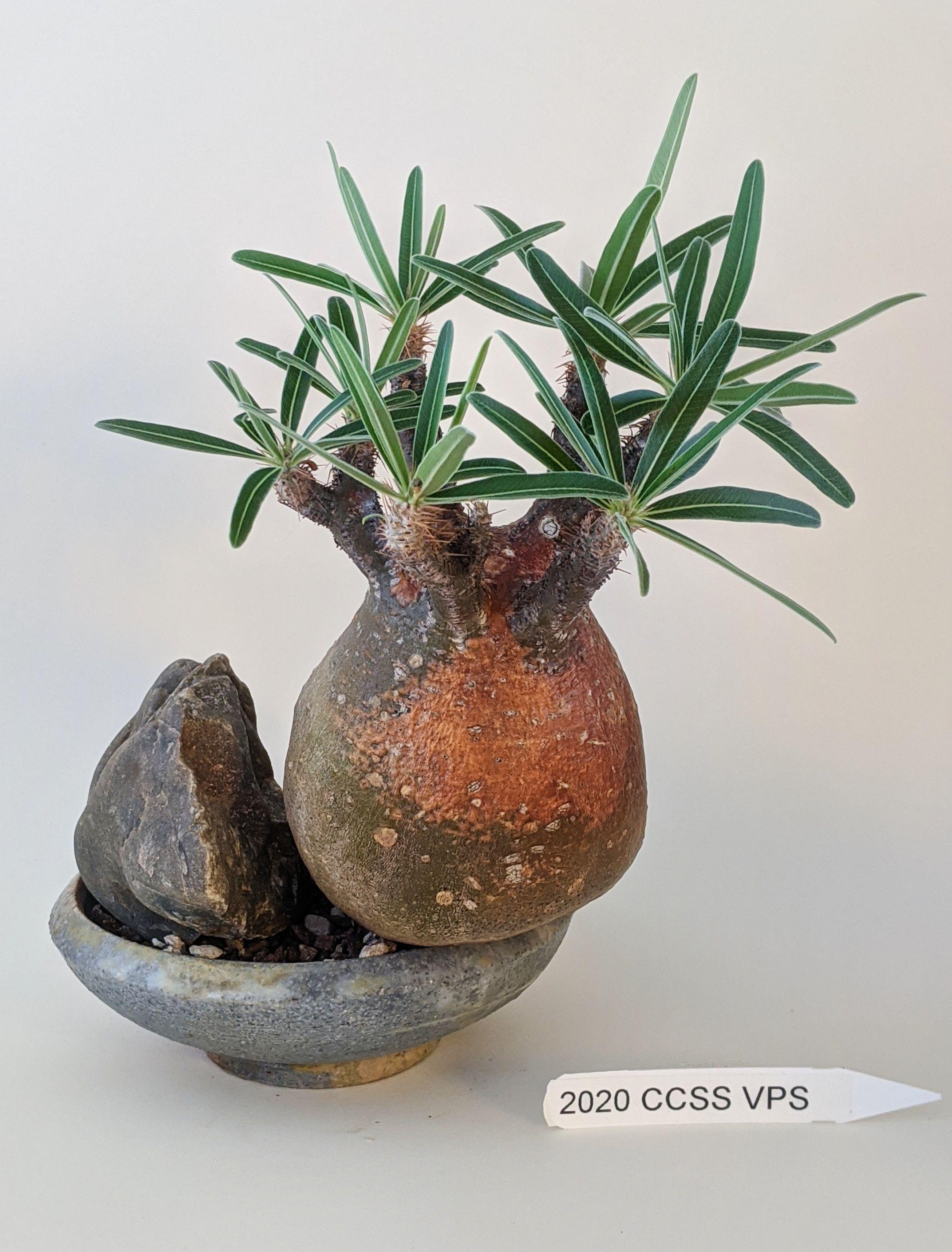 Pachypodium rosulatum 'Gracilius'