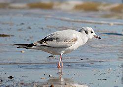 Beak of the Week: Bonaparte's Gull