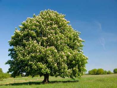 """Ohio Buckeye - Pack of 25 Seedlings (6""""-12"""")"""
