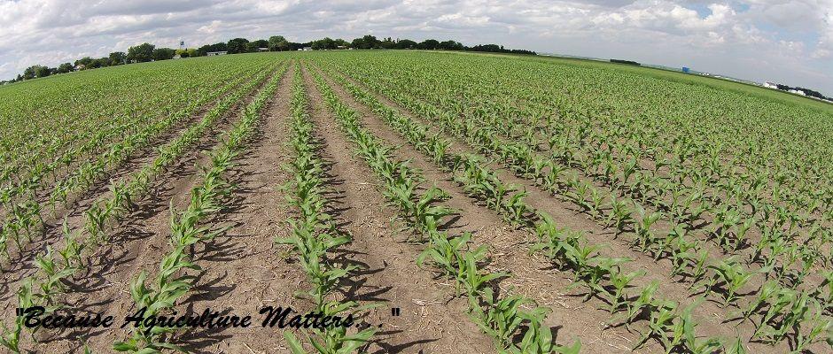 Corn Field (small)