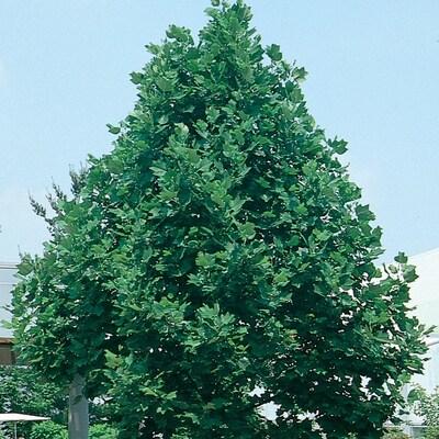 """Tuliptree - Pack of 25 Seedlings (6""""-12"""")"""