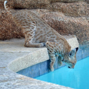 What attracts bobcats?